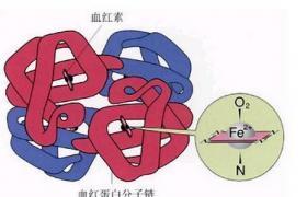 血红蛋白介绍
