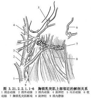 胸锁乳突肌下端切断术