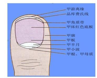 指甲呈半圆形